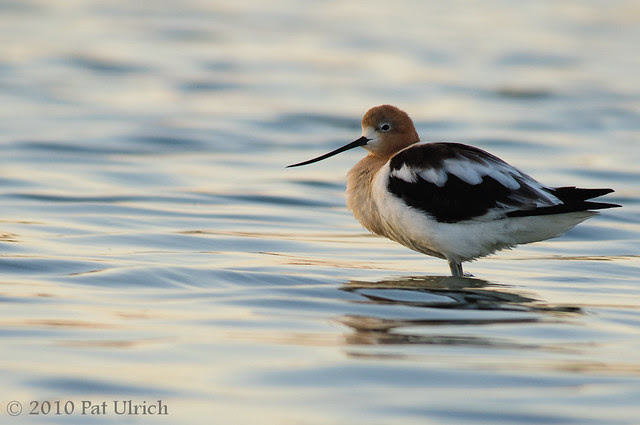 Late evening avocet