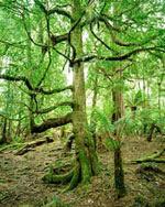 sassafras tree picture