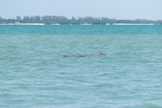 I saw these dolphins play together for a while. It looked like it was a mama and her baby. It was a beautiful and fun day and they added a little extra excitement to it.