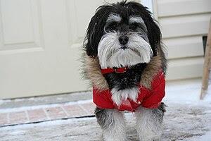 Havanese natural companion dogs