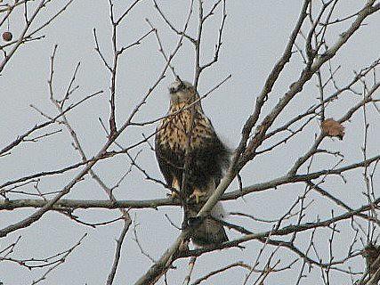 Rough legged hawk 4