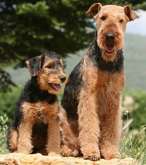 Buying or Adopting an Airedale Terrier