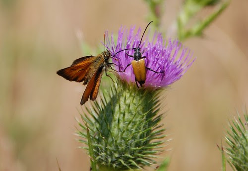 Long horned beetle and Skipper share a thistle
