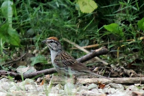 IMG_0807_Rufous-Crowned_Sparrow_at_Ouabache