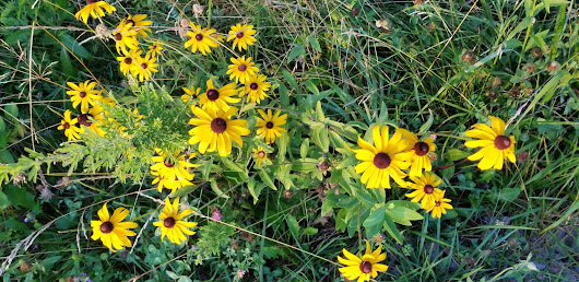 The Beauty of the Brown Eyed Susan