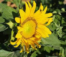 Sunflowers Love The Desert
