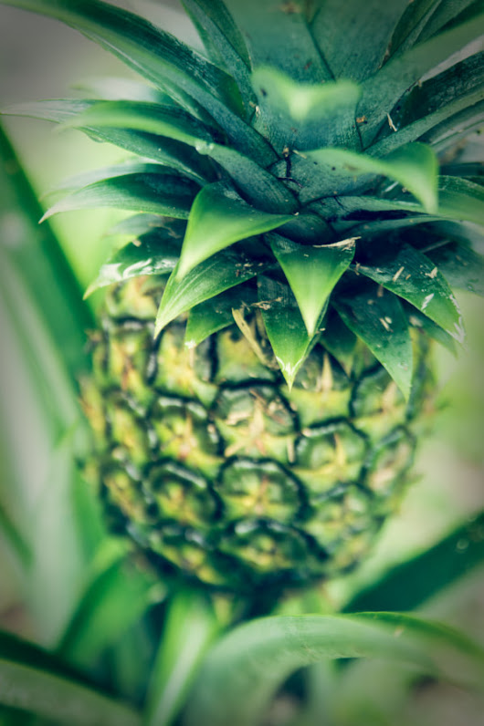 So This is Where Pineapples Come From