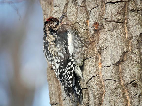 Ed Gaillard: birds &emdash; Yellow-Bellied Sapsucker, Central Park