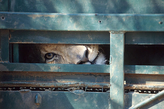 BLOOD LIONS - Call to ban trophy hunting of captive lions - Travel with Kat