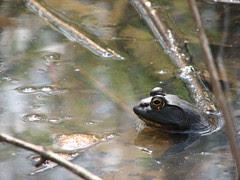 Bullfrog <span class=