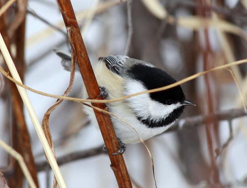 Black-capped Chickadee closeup