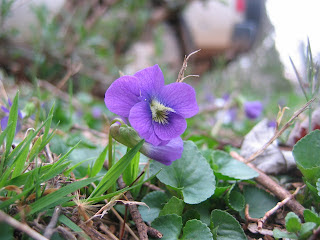 Wild violet, up close
