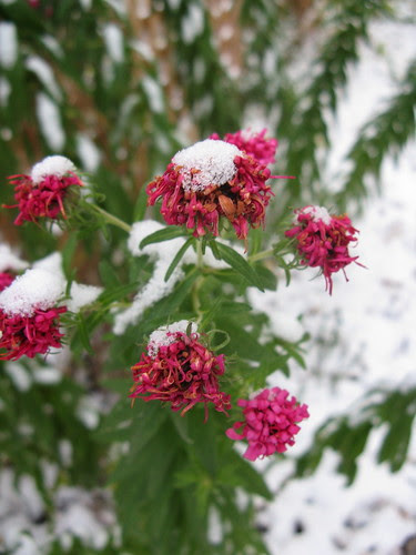 Frosted Asters
