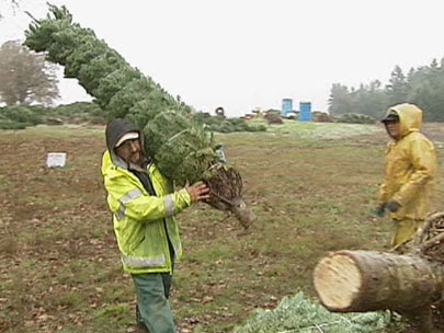 By hand and by air, crews get to work on Christmas tree harvest