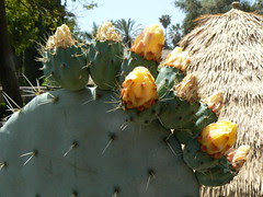 Blooming cactus in the courtyard garden of San Gabriel Mission