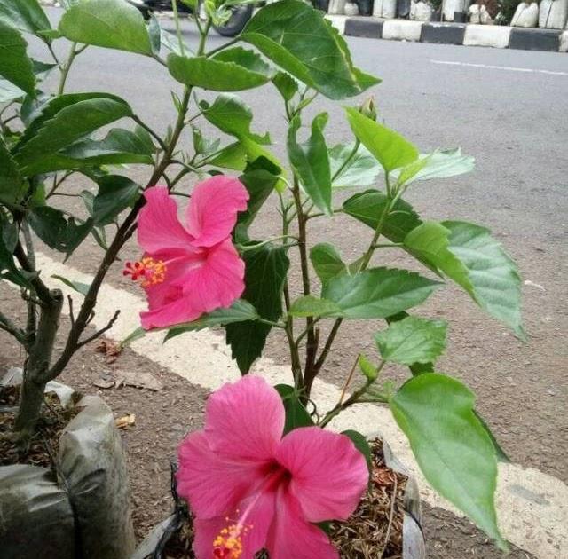 Wow 15 Gambar Foto Bunga Sepatu Gambar Bunga Hd