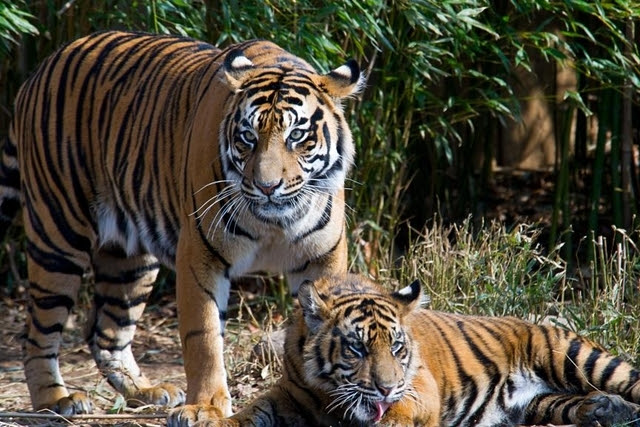 Des tigres mis à mort pour le PLAISIR de RICHES CHINOIS !!!
