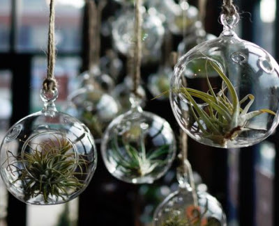 Air Plants: Why is it great to have them in your home - KRAVELV