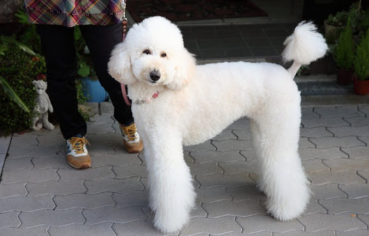 So You Want a Standard Poodle