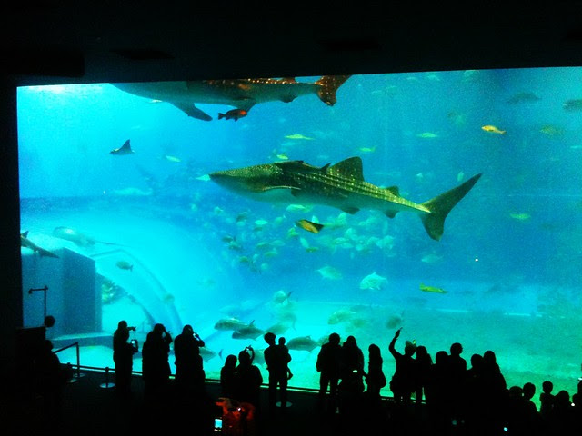 Whale sharks in Kuroshio Tank at Churaumi Aquarium, Okinawa