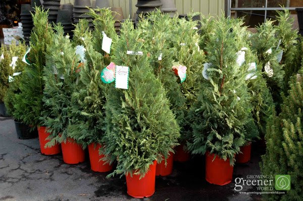 35+ Ideas For Live Potted Christmas Trees For Sale Near Me ...