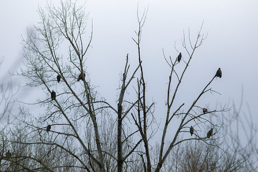 The Convocation - Bald Eagles In The Cowichan Valley - Toad Hollow