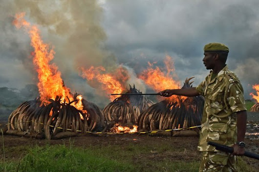 China Bans Its Ivory Trade, Moving Against Elephant Poaching - NYTimes.com