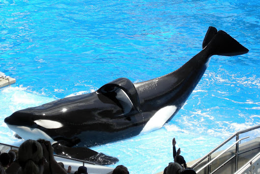 Did Years of Captivity and Abuse Lead to SeaWorld Orca Tilikum's Early Death? | Fresno People's Media