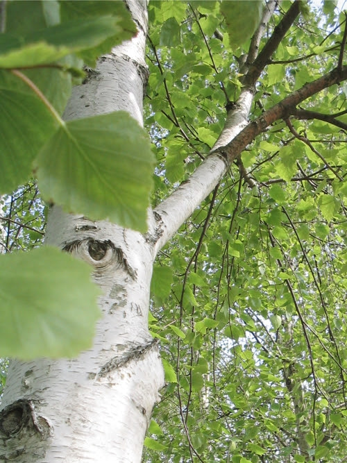 staring birch