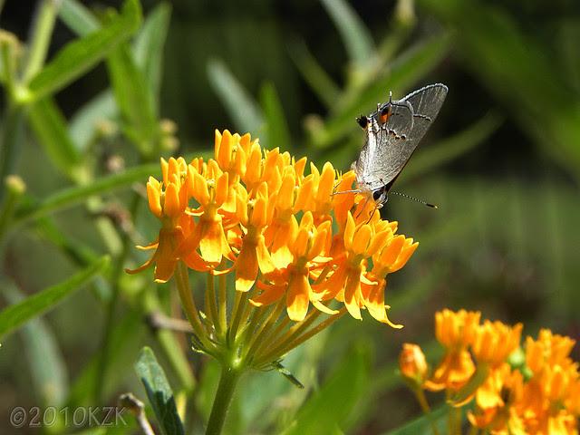 DSCN6442 Butterfly Weed