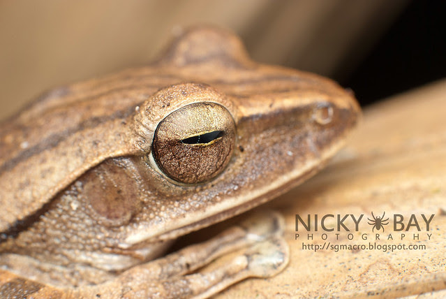 Four-lined Tree Frog (Polypedates leucomystax) - DSC_7168