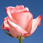 Flowers 50 Pink Roses with Red Tips by GlobalRose