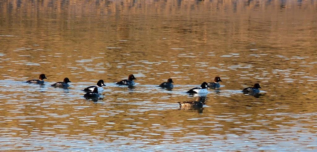 23727 - Goldeneye, River Ogmore
