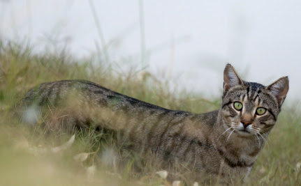Australia Plans to Kill 2 Million Feral Cats