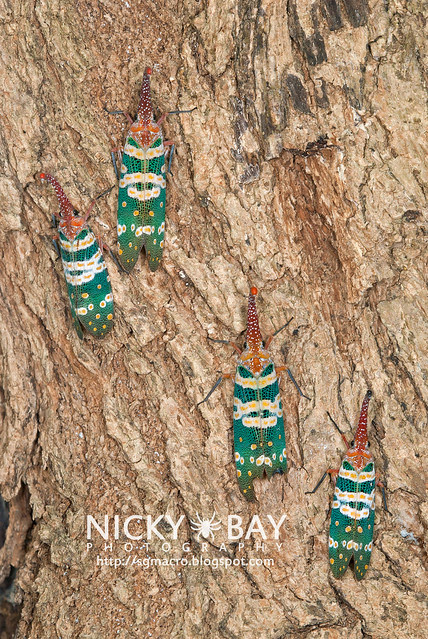 Lantern Bug (Pyrops candelaria) - DSC_3712