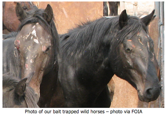 "The Terrible Truth About Wild Horse and Burro ""Bait Trapping"""