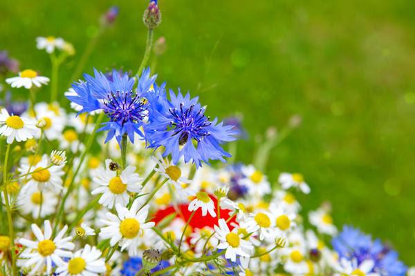 Нивяники хороши в саду кантри