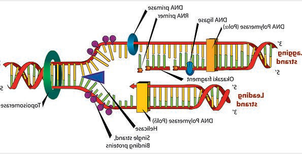 Dna Drawing Labeled at GetDrawings | Free download