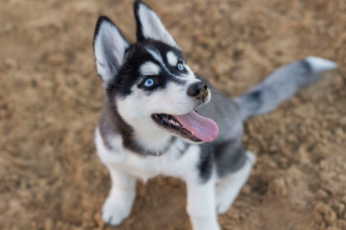 husky puppies for sale | Dogs & Puppies | Northern Territory Australia