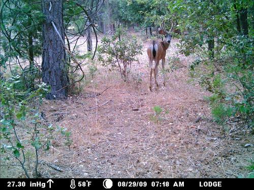 strange-horned buck