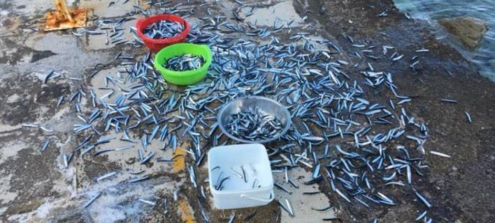 Εβρεξε... ψάρια: Γέμισε γαύρους ο Ψαθόπυργος -Τους μάζευαν με κουβάδες [εικόνες&βίντεο[