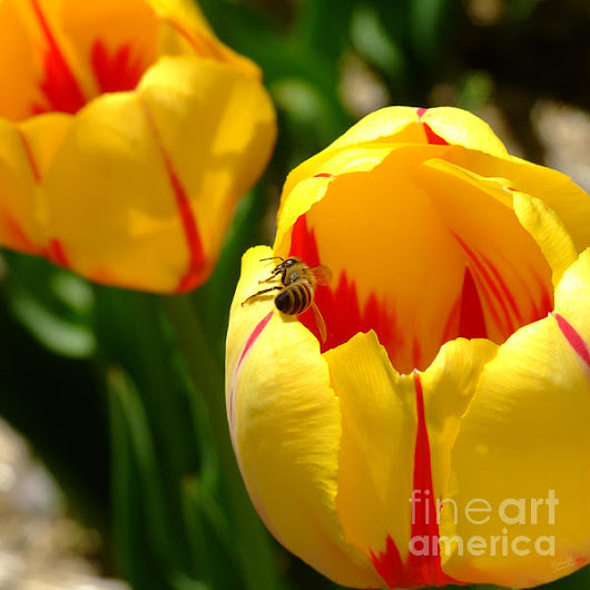 Yellow Tulips And Bee by Nishanth Gopinathan
