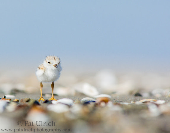 Photograph of a baby piping plover chick surrounded by seashells at Sandy Point State Reservation