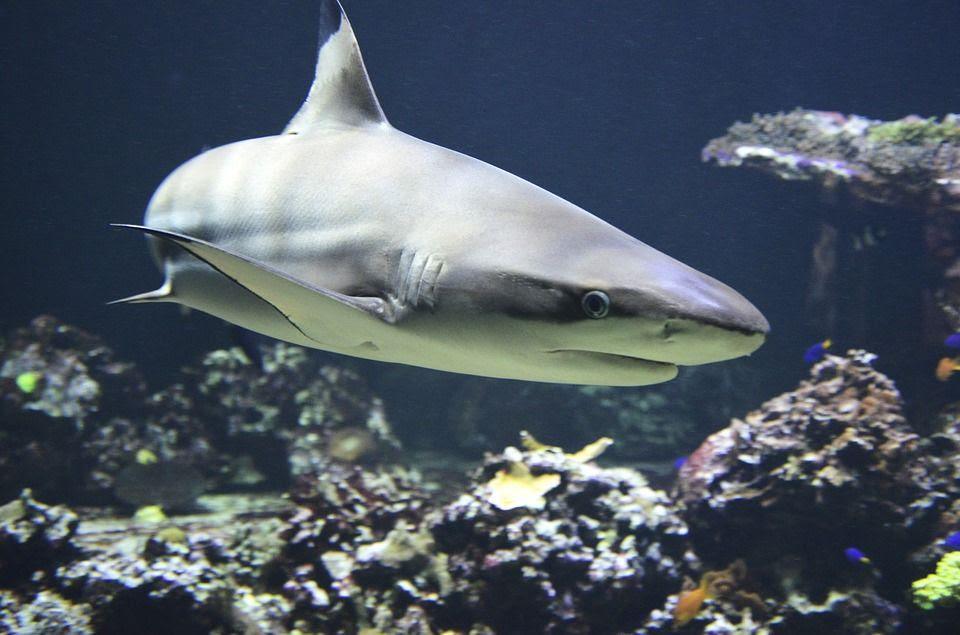Download 400+ Gambar Ikan Hiu Bertelur HD Terpopuler