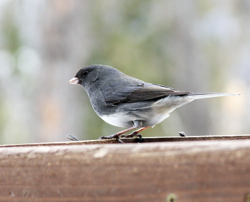 Dark-eyed Junco at my feeder