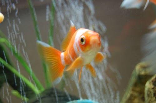 A Thomasi Goldfish Varieties