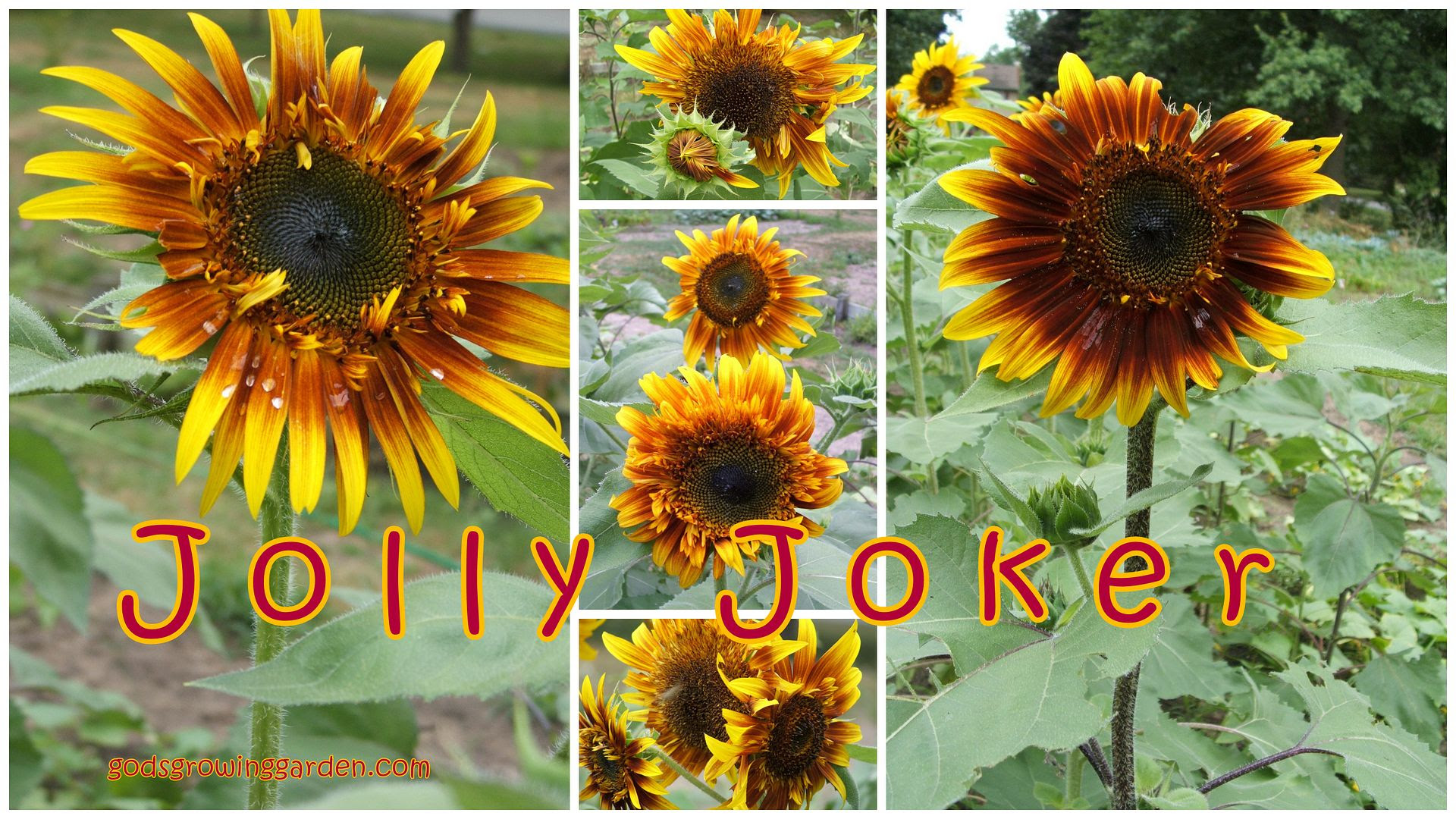sunflowers by Angie Ouellette-Tower for godsgrowinggarden.com photo 2012-07-29_zps93a5c1d2.jpg