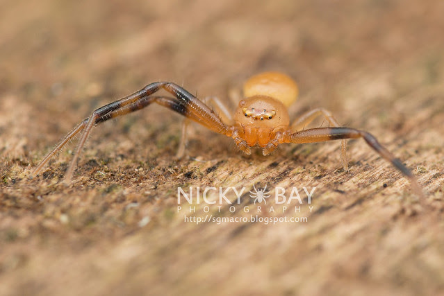 Crab Spider (Thomisidae) - DSC_4058