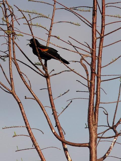 Red-winged Blackbird singing 20140307