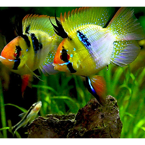 Jack Wattley Discus Fish | Affordable Wild And Hybrid Discus Fish